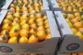 Кооператив «Овочі Станичників» відвантажує до 10 тонн продукції на день