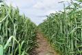 Способи внесення фосфорно-калійних добрив під озиму пшеницю