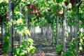 Учені пояснили, як вирахувати норму поливу винограду