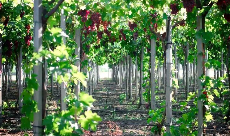 Вчені розповіли про оптимальний режим зрошення технічних сортів винограду