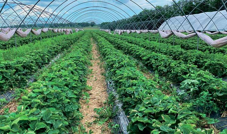 Якісний урожай ягідних культур. Пріоритет № 1