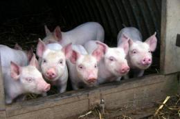 На Львівщині кільком господарствам присвоїли статус племінних репродукторів у тваринництві