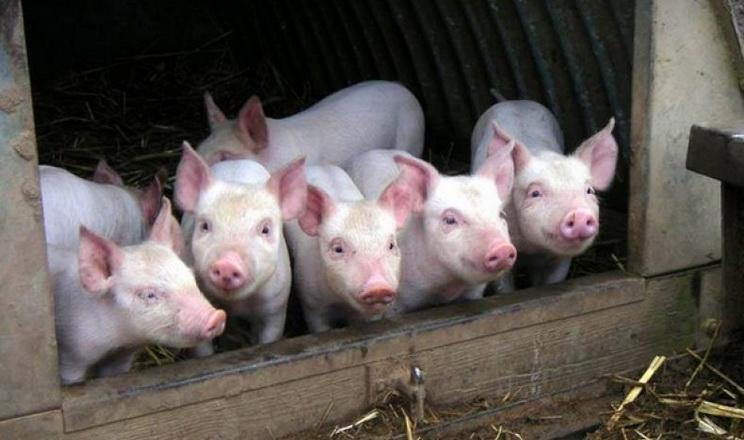 «Агропрайм Холдинг» віддає перевагу свиням французької генетики