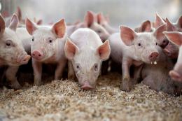 «Дан-Фарм Україна»  збільшить поголів'я свиней