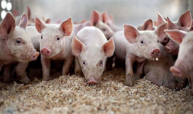 Ristone Holdings повністю оновить поголів'я свиней