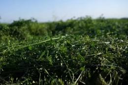 Одиниця поживності люцернового сінажу на 25% дешевша, ніж сіна