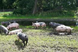 В ЄС озвучили ризики поширення АЧС на свинофермах відкритого типу