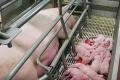 Через мікотоксикози свиней чистий прибуток скорочується на $5,07 на голову