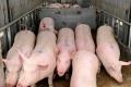 KSG Agro оновлює поголів'я свиней за допомогою канадської генетики