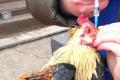 У птиці можна сформувати швидкий розвиток імунітету до хвороби Ньюкасла