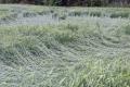 Через зливи в деяких регіонах відмічається вилягання посівів озимих