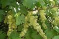 На Одещині столовий виноград цвіте із запізненням