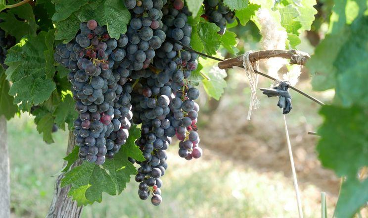 Якість винограду залежатиме, чи будуть спекотними липень та серпень