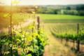 Погодний стрес скорочує довговічність насаджень винограду