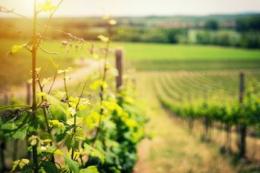 Щоб отримати партію вина біссер треба 10 років, – виноградар