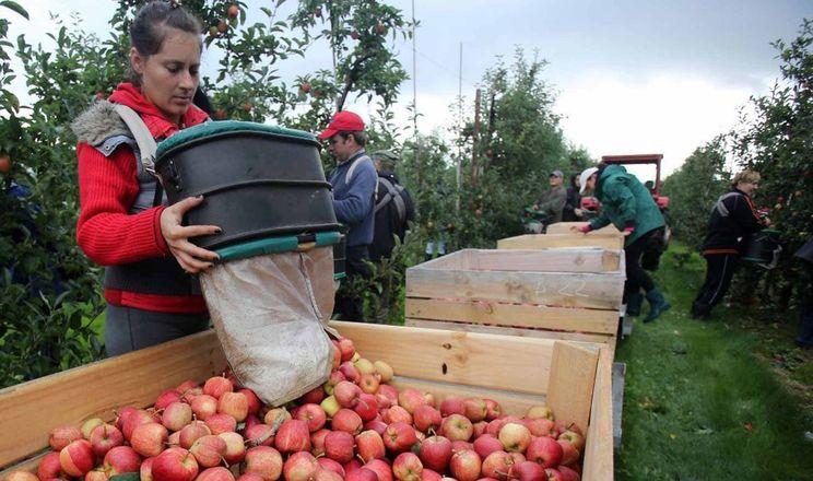 Якість яблук найбільше залежить від ЗЗР та збирання без ушкоджень