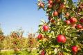 Кліщі в садах можуть спричинити втрати врожаю до 50%, - фахівці