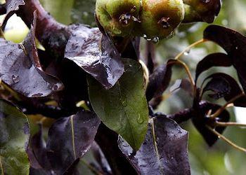 За бактеріального опіку плодових листя груші чорніє