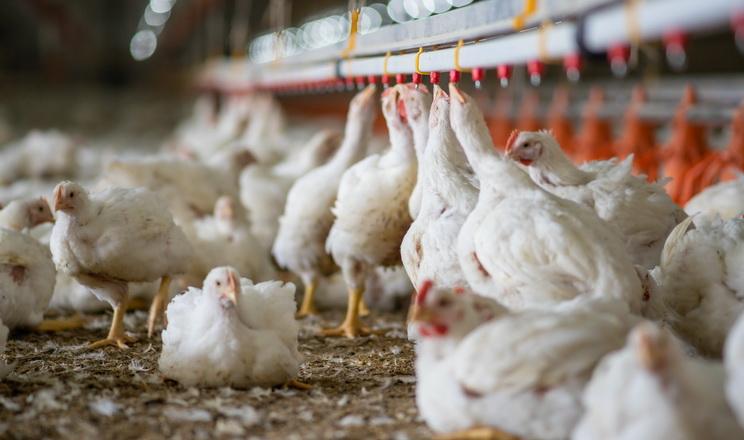 Як ощадливо запобігти тепловому стресу та зберегти продуктивність птиці