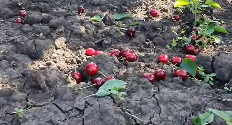Мелітопольську черешню знищують у садах