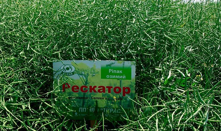 Використання сортового насіння озимого ріпаку дозволяє заощадити на старті
