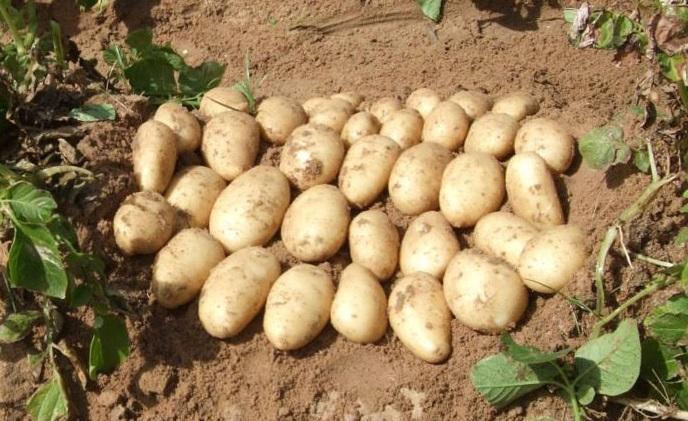 Найбільший виробник картоплі обирає чипсові сорти за 4 параметрами