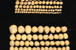 ГМО-картопля має удвічі більшу врожайність та стійкість до посухи