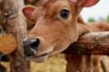 Чому телиці – найцінніші тварини на молочній фермі