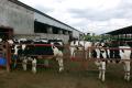 «Промінь» планує подвоїти поголів'я свиней і корів