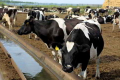 Оптимальна температура води для випоювання корів улітку – 12-15 °С