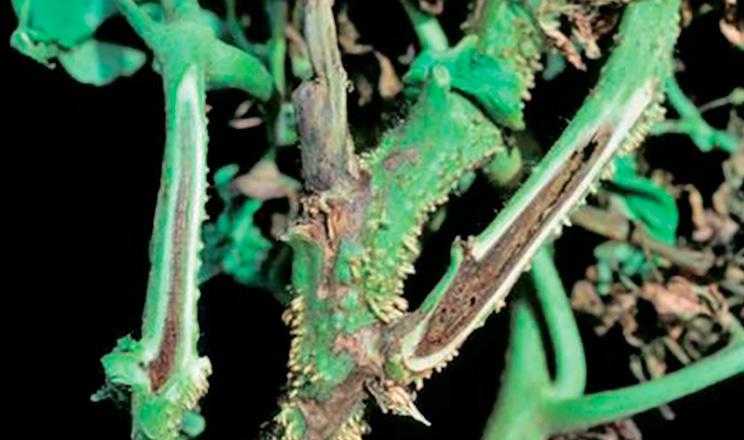 Бактеріальні хвороби томатів