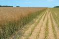 «Ріпакова сівозміна» сприяє отриманню стабільних урожаїв озимого ріпаку