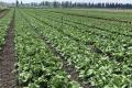 Червнева спека знищила в «Севен Філдз Фарм» 2 га салатів