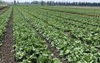 «Севен Філдз Фарм» вирощує салати та броколі  через три причини