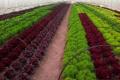 Сімейна пара в Запорізькій області вирощує 11 видів салату