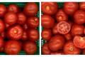 У Польщі представили два гібрида томатів для теплиць