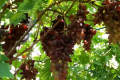 Сучасний сорт винограду має бути ексклюзивним та екзотичним, – учені