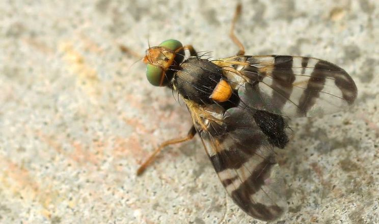 Найбільше від вишневої мухи страждають пізні вишні та черешні