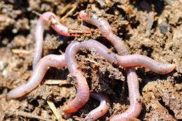 Кілька способів приготування сухого кормового борошна з дощових черв'яків