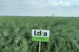 Урожайність ріпаку ЕС Ритмо від Lidea істотно перевищує середню по області