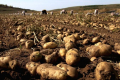 Фермери очікують подорожчання картоплі