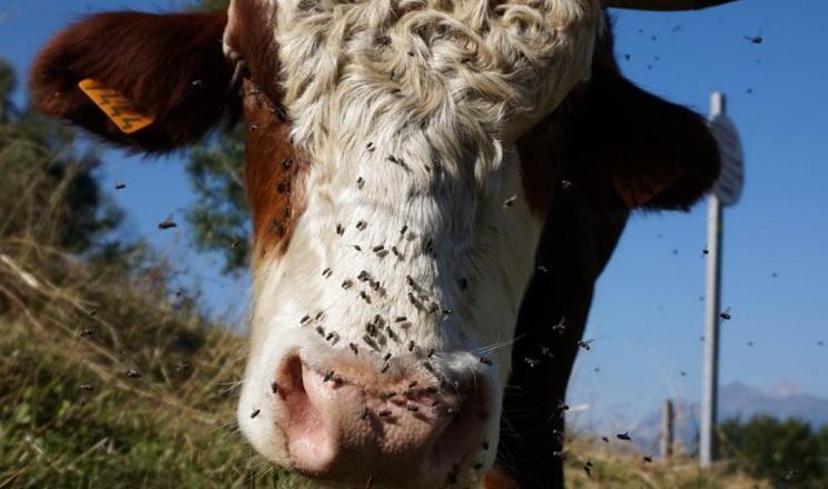Які інсектициди дієві у тваринництві