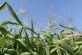 Урожай кукурудзи в Україні прогнозують на рівні 38 млн тонн