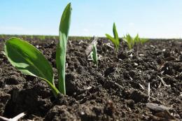 Суперсолодка кукурудза приваблює шкідників ще на стадії розсади