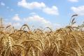 Господарство «ім. Б. Хмельницького» отримало нижчі врожаї через погоду