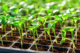 «Севен Філдз Фарм» вирощуватиме власну розсаду салатів і броколі