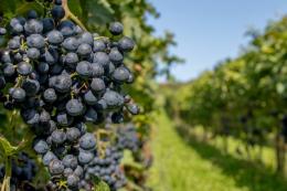 На Одещині та Миколаївщині очікують поганий врожай винограду