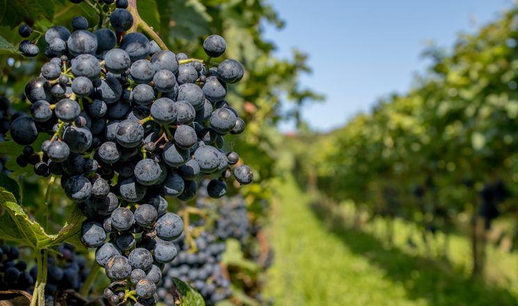 Одеське господарство може викорчувати за два роки 80 га виноградників