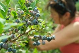 Після буревію в Польщі ягоди продають «самозбором»