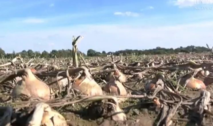 Польські овочівники страждають від надмірних дощів